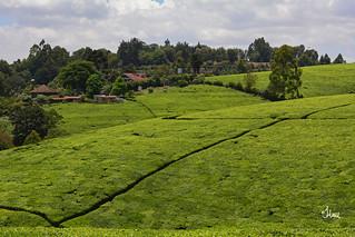 Kenya Tea Farm - 4037b+