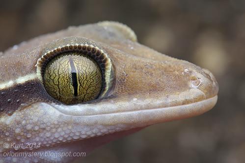 Cyrtodactylus pulchellus IMG_8351 copy
