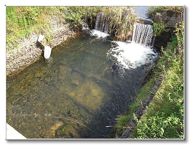 サツキマスの遡上を阻む堰の直下で,水中観察をする内藤先生.