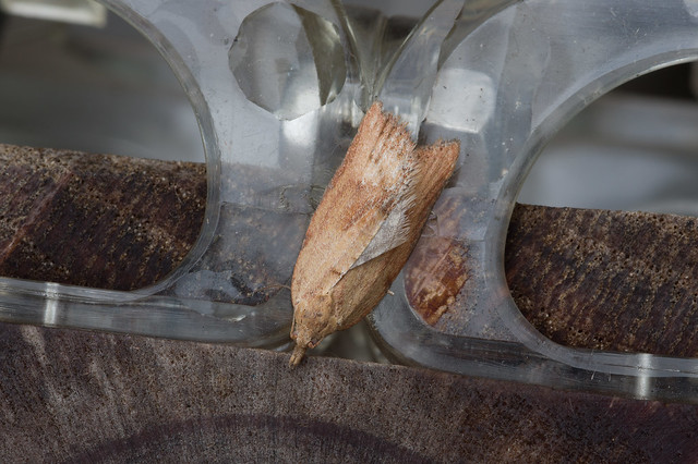 156: Light Brown Apple Moth