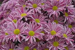 annual plant, flower, plant, wildflower, flora, chrysanths, petal,