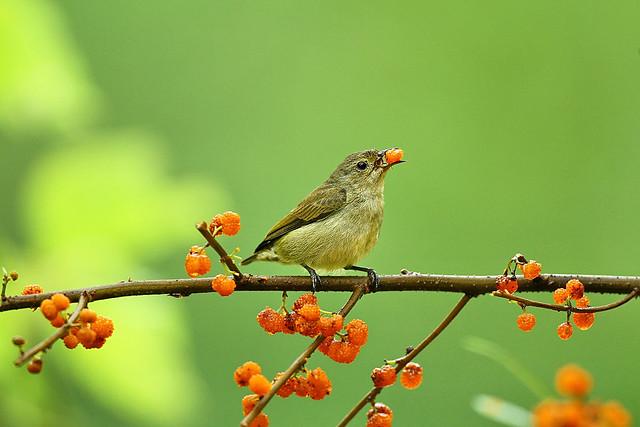 綠啄花 Plain Flowerpecker