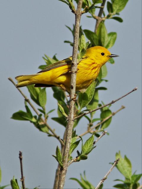 Yellow Warbler 20140507