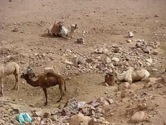 wadi(0.0), wildlife(0.0), drought(1.0), sand(1.0), mammal(1.0), fauna(1.0), camel(1.0), arabian camel(1.0),