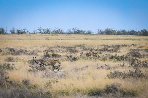 A family of leopards, Etosha NP