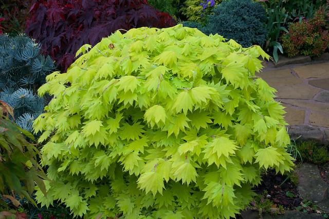 new leaves acer shirasawanum 39 aureum 39 golden leaf full. Black Bedroom Furniture Sets. Home Design Ideas