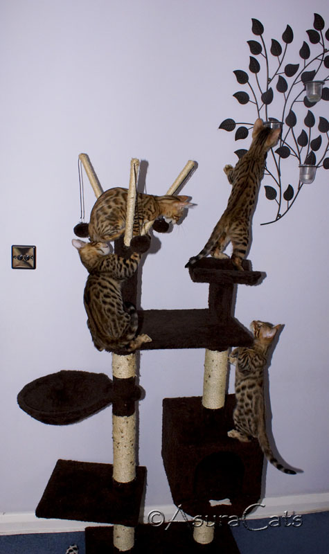 AsuraCats kittens playing on cat tree