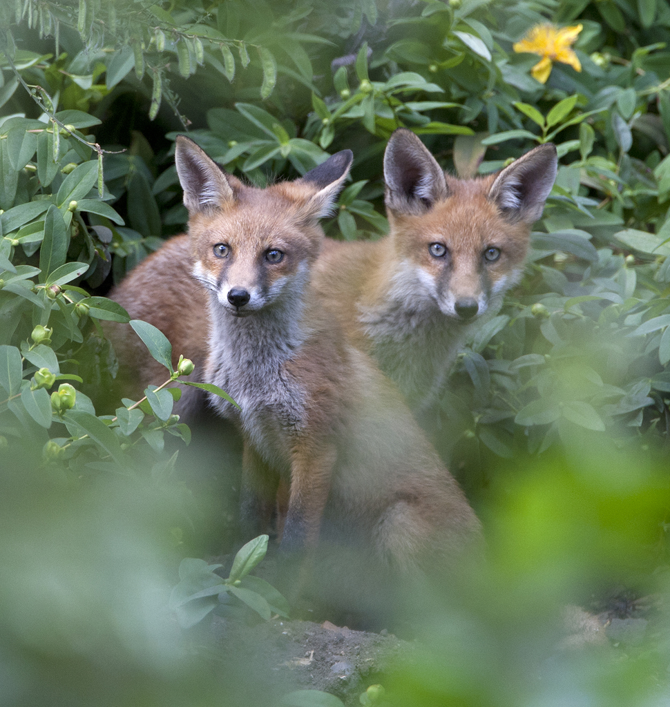 Fox cubs, London.