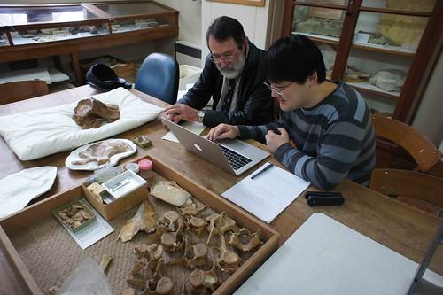 五十年後(1964年到2014年),對於同一件海豚化石(目前此海豚化石的名稱為Otekaikea marplesi)有不同解讀的兩位研究人員(左:Mel Dickson梅爾.迪克森和右:Tanaka Yoshihiro田中嘉寬)互相討論及交流彼此對於這件海豚化石的想法。作者攝於紐西蘭的奧塔哥大學(University of Otago)。