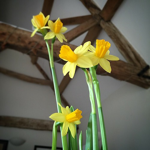 #Imbolc miracle: these bad boys bloomed over the weekend, symbolically calling me to action. Time for my own projects to stir out of their winter slumber!