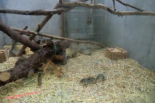 CIMG1164 Ardillas  en el  Infierno  Yama Jigoku  (Beppu) 13-07-2010 copia