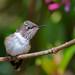 Volcano Hummingbird. Tim Melling.