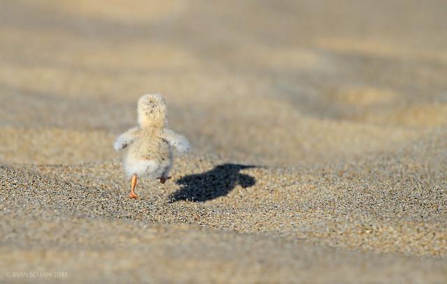 Ryan Schain - Least Tern Chick