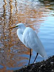Denman Park Egret
