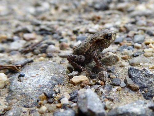 Kaum 1 cm gross - und schon Frosch