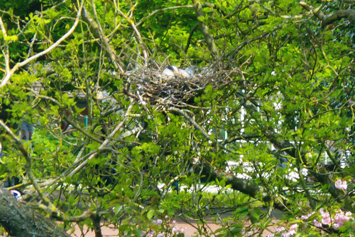 Heron on the nest, West Park, mid-May