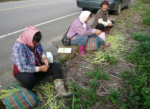 在路旁採集laoc(五節芒嫩心)。                     (盧建銘 攝於桃園大溪)
