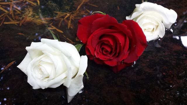 Roses - Lavender Bay Secret Garden