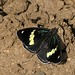 88 Butterfly (Diaethria anna) in the mud - mariposa en el lodo; camino de San Lucas Camotlán hasta Santiago Ixcuintepec Mixes, Región Mixes, Oaxaca, Mexico por Lon&Queta