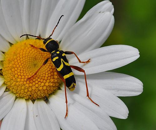 Longhorn Beetle Clytus Arietus Denge Woods by Kinzler Pegwell