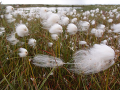 Irina Zimina - Cotton grass