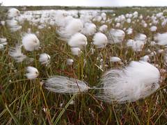 Irina Zimina - Cotton grass