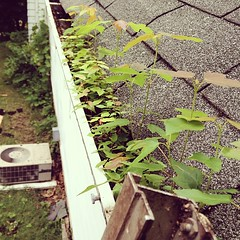 There are a few maple trees growing in the gutters. #cleaning #choresfordad