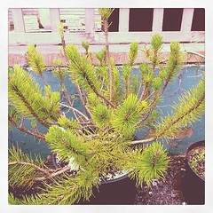 The first of two mugo pines. Both pines has a serious infestation of caterpillars and vibe weevil. This is the better of the two. They have been treated for the pests so now all I have to do is grow them on a little. You can see the caterpillar damage at