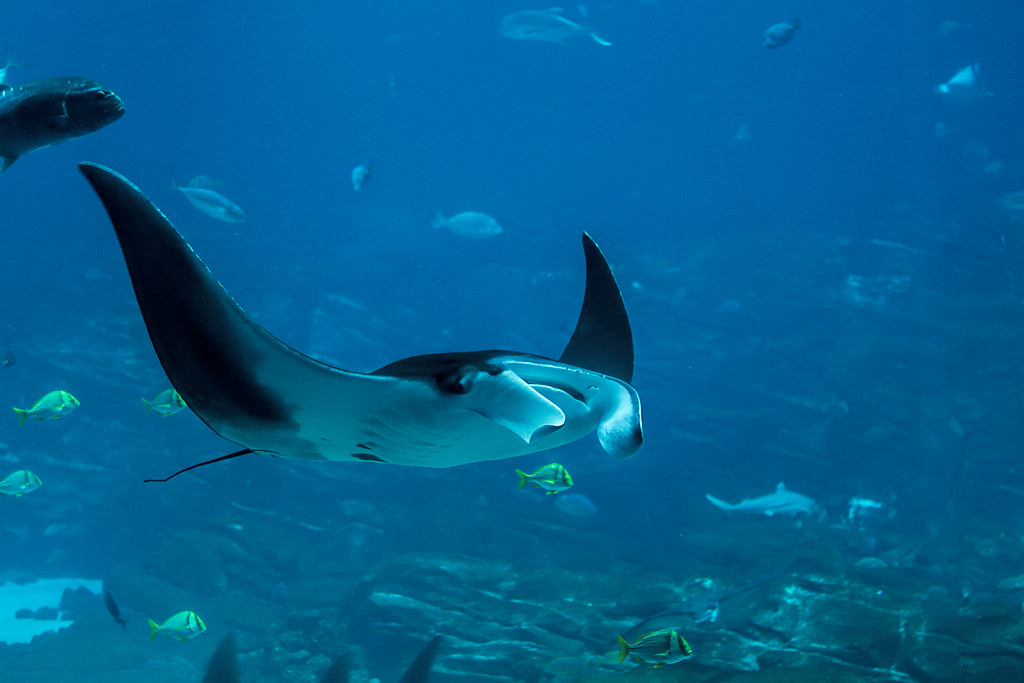 manta-ray-ga-aquarium3