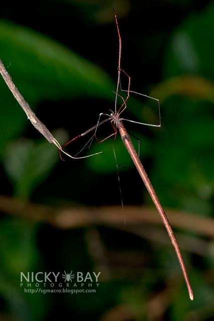 Twig Spider (Ariamnes sp.) - DSC_1913