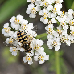 honey bee(0.0), branch(0.0), nectar(0.0), candytuft(0.0), chamaemelum nobile(0.0), tanacetum parthenium(0.0), yarrow(1.0), blossom(1.0), flower(1.0), yellow(1.0), plant(1.0), invertebrate(1.0), insect(1.0), wildflower(1.0), flora(1.0), produce(1.0), bee(1.0),