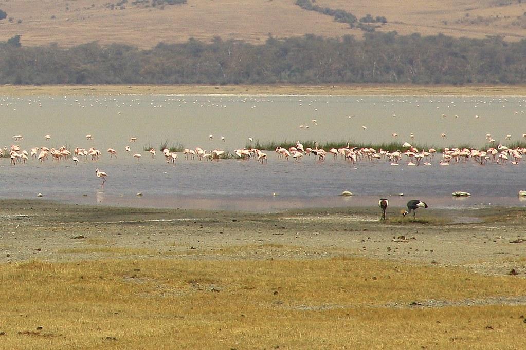 Ngorongoro flamingo
