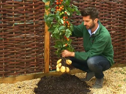 TomTato – источник помидоров и картофеля