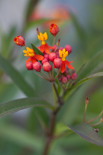 Milkweed by conniee4 aka Connie Etter