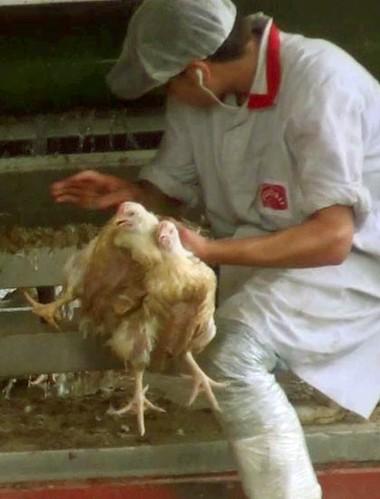 זוגלובק - פועל מושך בכוח שני תרנגולים ביד אחת