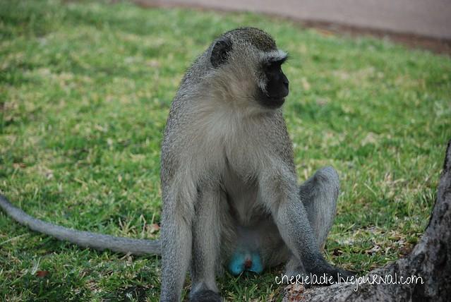 blue testicle monkey