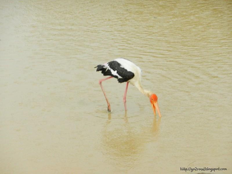 Шри Ланка. Местный птах