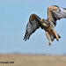 Juvenile Swainson's Hawk DSC_2594 by Ron Kube Photography