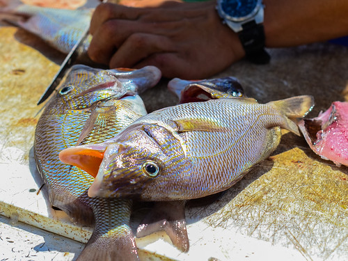 Fishing guides starting to fillet the next lot of snapper - check out the teeth!