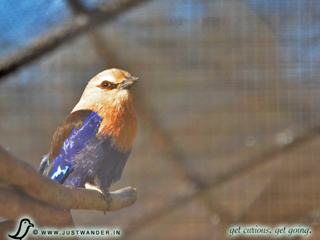 PIC: Blue-Bellied Rollers at Giraffe Ranch