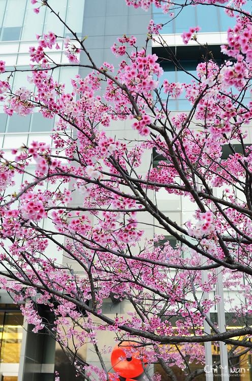 松智公園寒櫻11.jpg