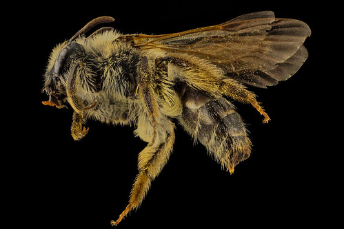 Andrena barbilabis, F, Side, PG Co, MD_2014-02-05-16.47.01 ZS PMax
