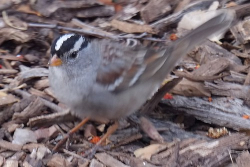 White-crowned Sparrow Scratching