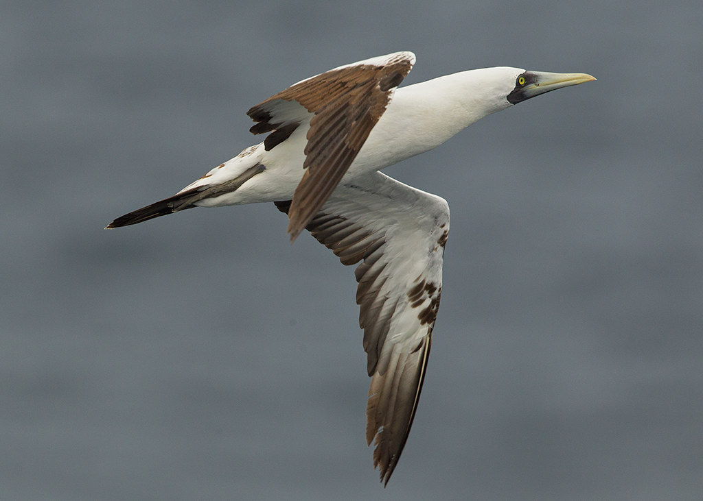 Masked Booby 2014-01-31