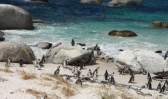 Two intimate penguins in the Boulders African penguin colony.