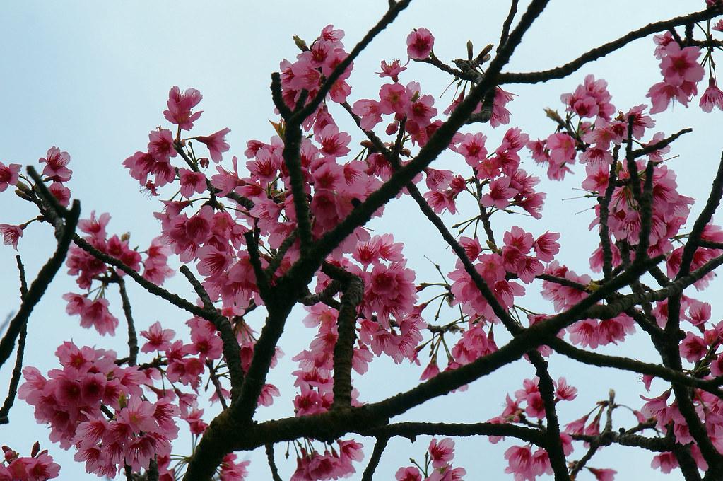 陽明山。櫻
