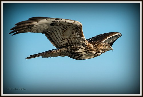 Young Redtail on the wing