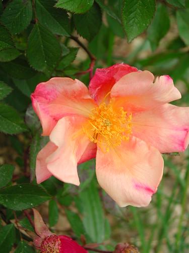 Rosa chinensis mutabilis - Détail