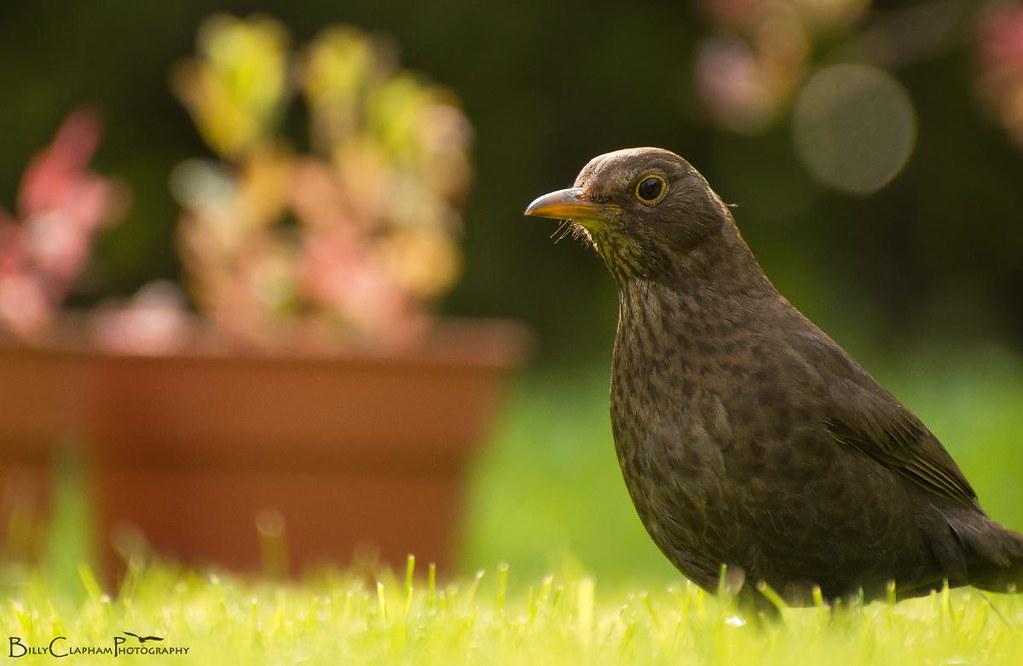 female blackbird bokeh plant garden spring