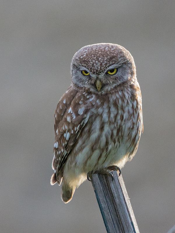 Little Owl 2014-05-05